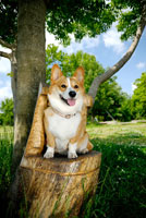 木の椅子に座るコーギー犬