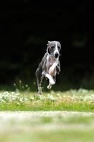 緑の中を走るイタリアングレーハウンド犬