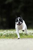 緑の中を走るフレンチブルドッグ犬 02359000124| 写真素材・ストックフォト・画像・イラスト素材|アマナイメージズ