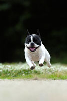 緑の中を走るフレンチブルドッグ犬 02359000125| 写真素材・ストックフォト・画像・イラスト素材|アマナイメージズ