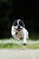 緑の中を走るフレンチブルドッグ犬 02359000126| 写真素材・ストックフォト・画像・イラスト素材|アマナイメージズ