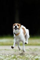 緑の中を走るジャックラッセルテリア犬