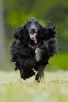 緑の中を走るイングリッシュコッカースパニエル犬