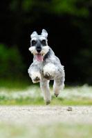 緑の中を走るミニチュアシュナウザー犬