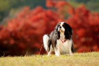 紅葉を背景に立つキャバリア犬 02359000165| 写真素材・ストックフォト・画像・イラスト素材|アマナイメージズ