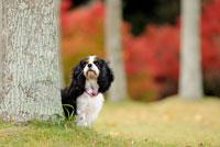 紅葉の木立とキャバリア犬 02359000166| 写真素材・ストックフォト・画像・イラスト素材|アマナイメージズ