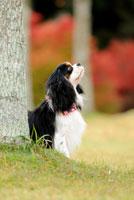 紅葉の木立とキャバリア犬 02359000167| 写真素材・ストックフォト・画像・イラスト素材|アマナイメージズ