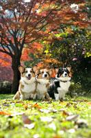紅葉と3頭のコーギー犬 02359000169| 写真素材・ストックフォト・画像・イラスト素材|アマナイメージズ