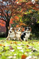 紅葉と3頭のコーギー犬 02359000169A| 写真素材・ストックフォト・画像・イラスト素材|アマナイメージズ