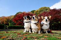 紅葉と3頭のコーギー犬 02359000170| 写真素材・ストックフォト・画像・イラスト素材|アマナイメージズ