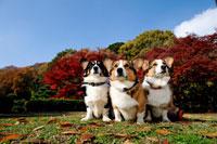 紅葉と3頭のコーギー犬 02359000170A| 写真素材・ストックフォト・画像・イラスト素材|アマナイメージズ