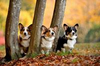 紅葉と3本の木と3頭のコーギー犬 02359000171| 写真素材・ストックフォト・画像・イラスト素材|アマナイメージズ