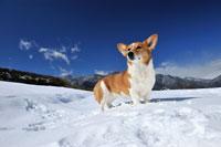 雪上のコーギー犬
