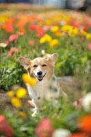 ポピー畑の中のコーギー犬 02359000181| 写真素材・ストックフォト・画像・イラスト素材|アマナイメージズ