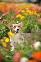ポピー畑の中のコーギー犬 02359000181A| 写真素材・ストックフォト・画像・イラスト素材|アマナイメージズ