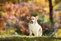 紅葉のヤマモミジを背景に立つ笑顔のコーギー犬 02359000194| 写真素材・ストックフォト・画像・イラスト素材|アマナイメージズ