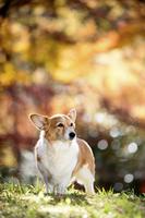紅葉のメタセコイヤを背景に立つコーギー犬 02359000195| 写真素材・ストックフォト・画像・イラスト素材|アマナイメージズ