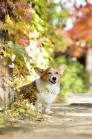 紅葉の壁と笑顔のコーギー犬 02359000196| 写真素材・ストックフォト・画像・イラスト素材|アマナイメージズ