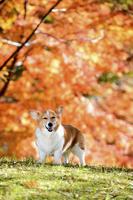 紅葉のヤマモミジを背景に立つコーギー犬 02359000198| 写真素材・ストックフォト・画像・イラスト素材|アマナイメージズ