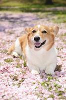 八重桜の花びらの絨毯の上にフセする笑顔のコーギー犬
