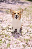 八重桜の花びらの絨毯の上に座る笑顔のコーギー犬