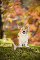 紅葉のヤマモミジを背景に切り株に立つ笑顔のコーギー犬 02359000209| 写真素材・ストックフォト・画像・イラスト素材|アマナイメージズ
