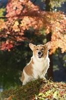 紅葉のヤマモミジを背景に切り株に手をついて立つコーギー犬 02359000210| 写真素材・ストックフォト・画像・イラスト素材|アマナイメージズ