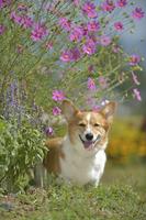 コスモスの花の下で笑顔で立つ笑顔のコーギー犬 02359000211| 写真素材・ストックフォト・画像・イラスト素材|アマナイメージズ