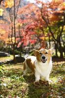 紅葉のヤマモミジを背景に立つコーギー犬 02359000212| 写真素材・ストックフォト・画像・イラスト素材|アマナイメージズ
