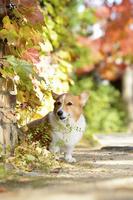 紅葉の壁とコーギー犬 02359000214| 写真素材・ストックフォト・画像・イラスト素材|アマナイメージズ