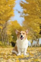 黄葉したイチョウ並木で座る笑顔のコーギー犬 02359000216| 写真素材・ストックフォト・画像・イラスト素材|アマナイメージズ