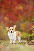 紅葉のモミジを背景に立つ笑顔のコーギー犬 02359000226| 写真素材・ストックフォト・画像・イラスト素材|アマナイメージズ