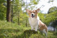 メタセコイアのある丘の切り株に手をいて立つ笑顔のコーギー犬 02359000227| 写真素材・ストックフォト・画像・イラスト素材|アマナイメージズ