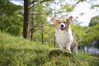 メタセコイアのある丘の切り株に手をいて立つ笑顔のコーギー犬 02359000228| 写真素材・ストックフォト・画像・イラスト素材|アマナイメージズ
