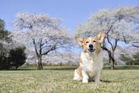 春の公園で満開の桜を背景に笑顔なコーギー犬 02359000231| 写真素材・ストックフォト・画像・イラスト素材|アマナイメージズ