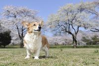 春の公園で満開の桜を背景に笑顔なコーギー犬 02359000232| 写真素材・ストックフォト・画像・イラスト素材|アマナイメージズ