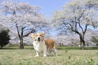 春の公園で満開の桜を背景に笑顔なコーギー犬 02359000233| 写真素材・ストックフォト・画像・イラスト素材|アマナイメージズ
