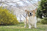 春の公園で満開のレンギョウと桜を背景に笑顔なコーギー犬 02359000234| 写真素材・ストックフォト・画像・イラスト素材|アマナイメージズ