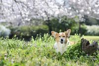春の公園で満開の桜を背景に笑顔なコーギー犬 02359000235| 写真素材・ストックフォト・画像・イラスト素材|アマナイメージズ
