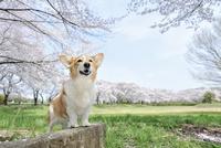 春の公園で満開の桜を背景に笑顔なコーギー犬 02359000236| 写真素材・ストックフォト・画像・イラスト素材|アマナイメージズ