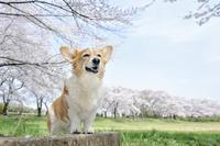 春の公園で満開の桜を背景に笑顔なコーギー犬 02359000237| 写真素材・ストックフォト・画像・イラスト素材|アマナイメージズ
