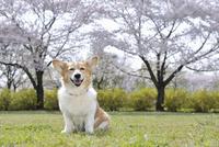 春の公園で満開の桜を背景に笑顔なコーギー犬 02359000238| 写真素材・ストックフォト・画像・イラスト素材|アマナイメージズ