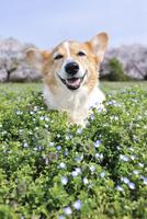 春の公園でオオイヌノフグリに埋もれる笑顔なコーギー犬 02359000239| 写真素材・ストックフォト・画像・イラスト素材|アマナイメージズ