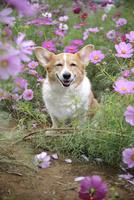 コスモス畑の中の笑顔のコーギー犬 02359000240| 写真素材・ストックフォト・画像・イラスト素材|アマナイメージズ