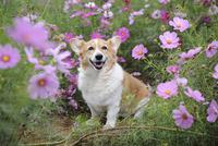 コスモス畑の中の笑顔のコーギー犬 02359000241| 写真素材・ストックフォト・画像・イラスト素材|アマナイメージズ