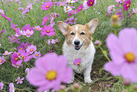 コスモス畑の中の笑顔のコーギー犬 02359000242| 写真素材・ストックフォト・画像・イラスト素材|アマナイメージズ