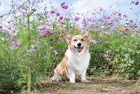 コスモス畑の中の笑顔のコーギー犬 02359000243| 写真素材・ストックフォト・画像・イラスト素材|アマナイメージズ