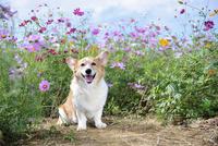 コスモス畑の中の笑顔のコーギー犬