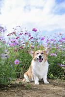 コスモス畑の中の笑顔のコーギー犬 02359000245| 写真素材・ストックフォト・画像・イラスト素材|アマナイメージズ