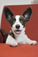 赤いソファーの上のコーギー犬 02359000246| 写真素材・ストックフォト・画像・イラスト素材|アマナイメージズ